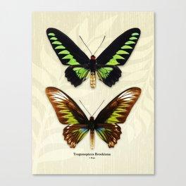 Butterfly15_Trogonoptera Brookiana • pair Canvas Print