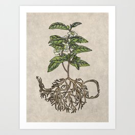 Camellia sinensis - tea plant Art Print
