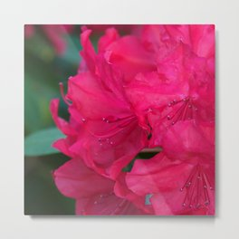 Rhododendron fever Metal Print
