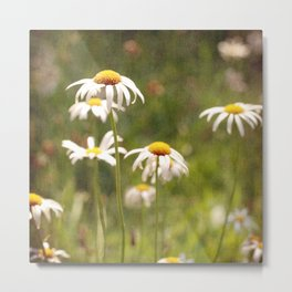 Daisy Day - fine art print of a field lovely wild daisies Metal Print
