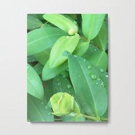 Kubota Garden green plant leaves with water drops Metal Print
