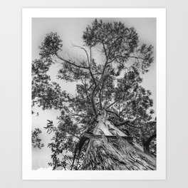 The old eucalyptus tree Art Print