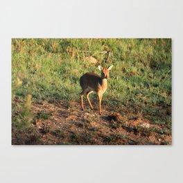 Masai Mara Dikdik Deer Canvas Print