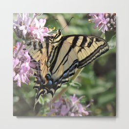 Western Tiger Swallowtail on Lemon Blossoms Metal Print