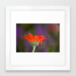 Daisy for Monet Framed Art Print