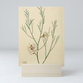 Flower 1918 genista monosperma Single seeded Genista20 Mini Art Print