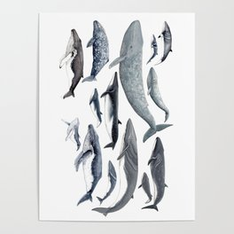 Whale diversity Poster