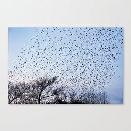 starling murmuration Canvas Print
