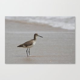 Eastern Willet Canvas Print