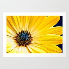 Osteospermum-'Buttermilk' Art Print