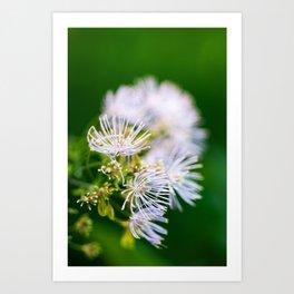 Lavender Mist Meadow Rue - Thalictrum rochebrunianum 1 Art Print