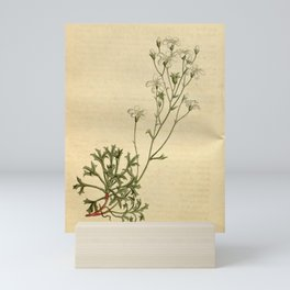 Flower 1651 saxifraga ceratophylla Shining calyxed Saxifrage10 Mini Art Print