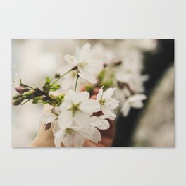 Cherry Blossom at UW Canvas Print