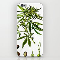 cannabis iPhone & iPod Skins featuring Cannabis Sativa - Koehler (1887) by Ouijawedge