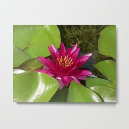 red water lily VI Metal Print