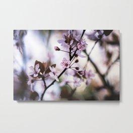 Spring Cherry Blossoms - Sakura  Metal Print