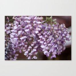 Spring - Wisteria Canvas Print