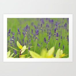 Irish Lavender Art Print