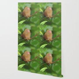 Pygmy marmoset Wallpaper