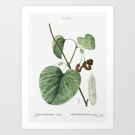 Dutchman's pipe, Aristolochia sipho from Traité des Arbres et Arbustes que l'on cultive en France en Art Print