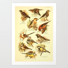 William Playne Pycraft - A Book of Birds (1908) - Plate 26: Larks, Tits and Buntings Art Print