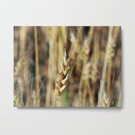 Wheat field texture of hay Metal Print