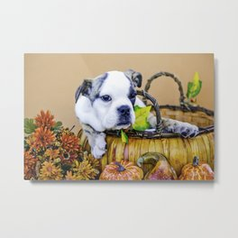 Maybelle the English Bulldog in an Autumn Basket Metal Print