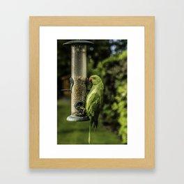 Urban Parakeet  Framed Art Print