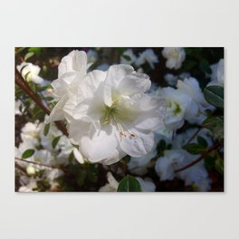 Joyful Camellias Canvas Print