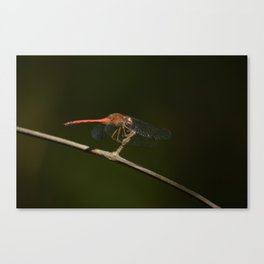 Half-banded Toper (dragonfly) Canvas Print