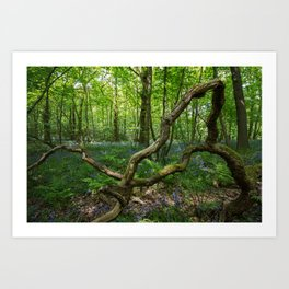 glorious bluebell woodland Art Print