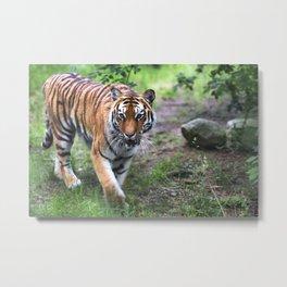 Tiger is walking in the woods Metal Print