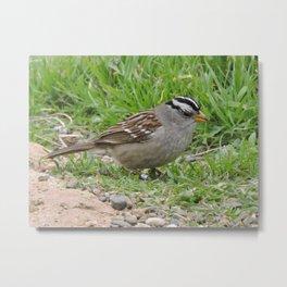 White Crowned Sparrow at Morro Rock Metal Print