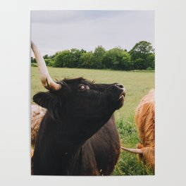 Majestic Highland Cow Poster