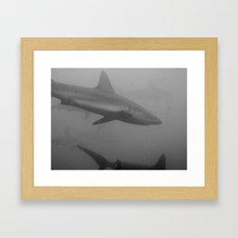 Galapagos sharks Framed Art Print