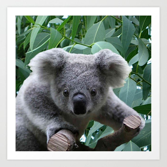 Koala and Eucalyptus Art Print