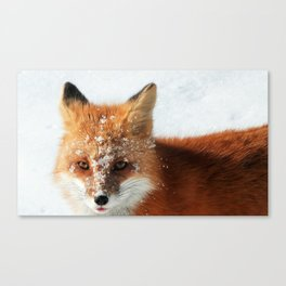 Snowy Faced Cheeky Fox with Tongue Out Canvas Print