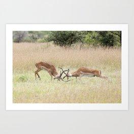 Fighting Impala on The Serengeti Art Print