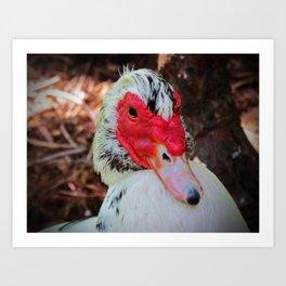 Muscovy Duck Art Print