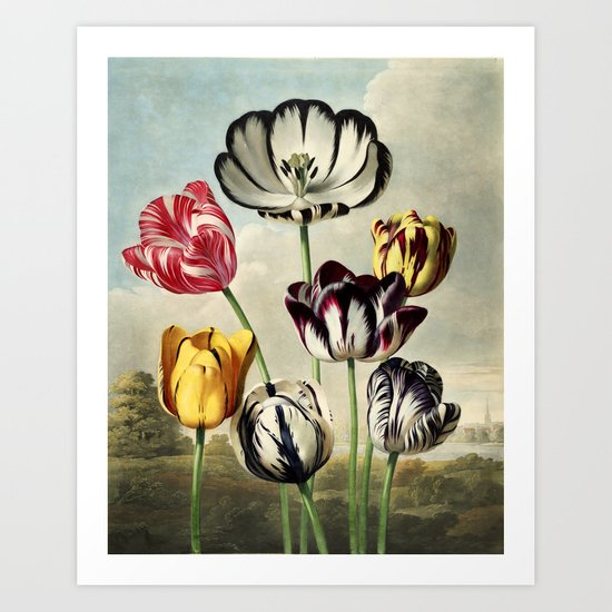 Tulips : Temple of Flora of New illustration of the sexual system of Carolus von Linnaeus Art Print