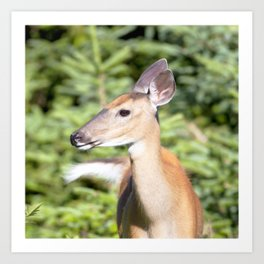 Watercolor Deer, Eastern Whitetail 02, Cape Breton, Canada, A Curious Look Art Print