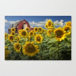 Golden Blooming Sunflowers with Red Barn Canvas Print