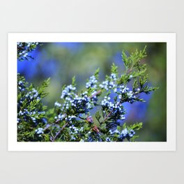 Light Blue Juniper Berries Art Print