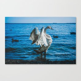Spread Your Wings. Trumpeter Swan Photograph Canvas Print