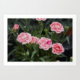 pink carnation in bloom in spring Art Print