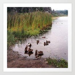 Mallards at the pond.... Art Print