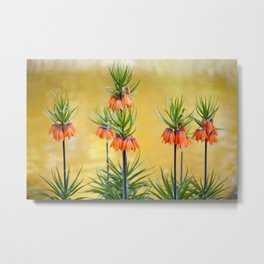 Orange lily flowers Fritillaria imperialis Metal Print
