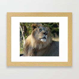 Gazing Lion Framed Art Print