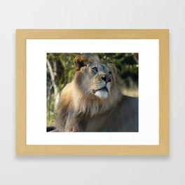 Gazing Lion Framed Art Print