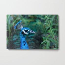 Stunning Peacock on Hawaii's Big Island Metal Print